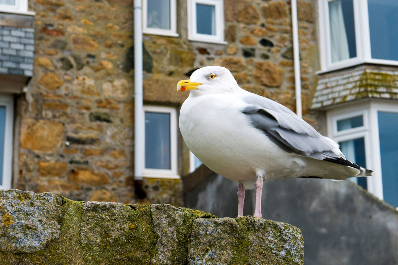 Seagull watching over the St. Ives harbor